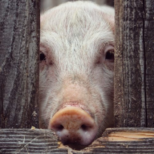pig in a pen